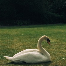 The biggest Swan I have ever seen - St Stephan's Green