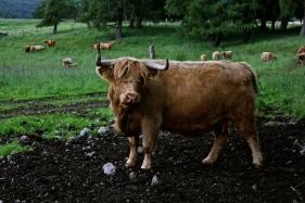 My Highland Cows