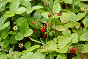 Wild Stawberries